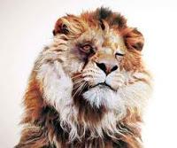 Leão sem dentes jacuipenoticias.com