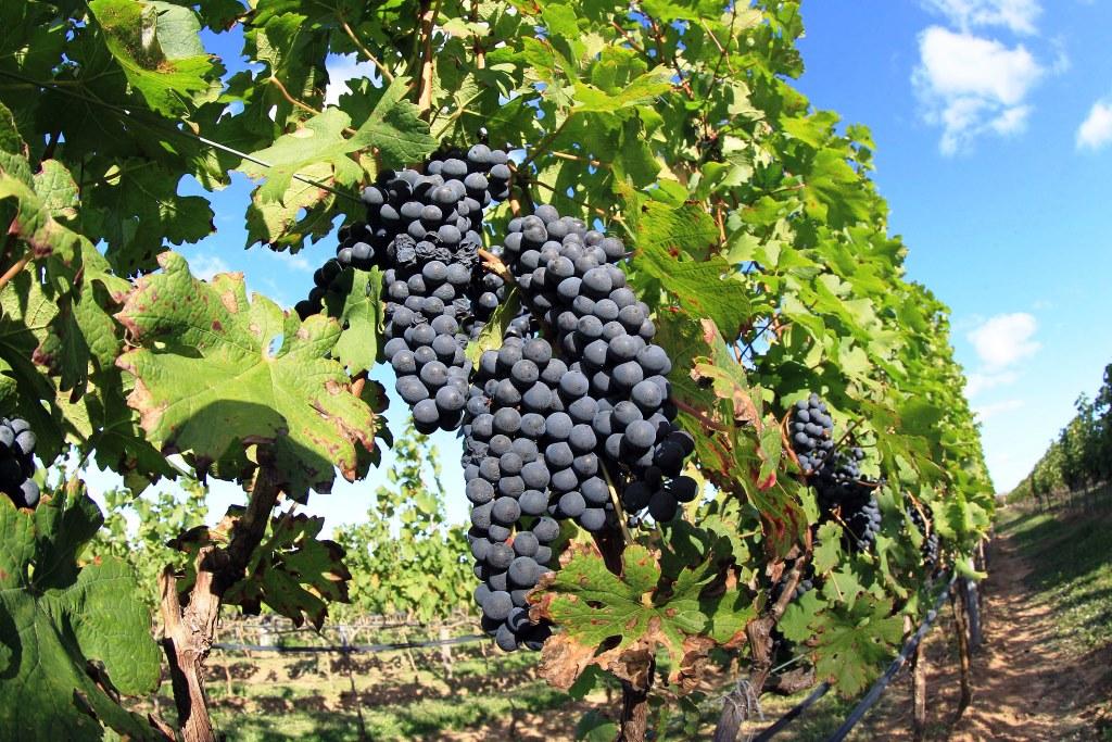 Bahia:  Produção de vinhos agricultores familiares em Morro do Chapéu