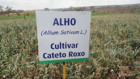 Cultivar Cateto Roxo