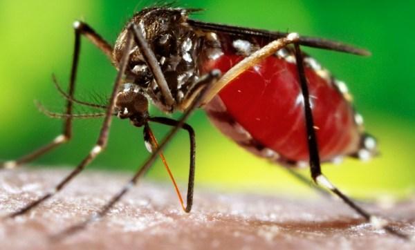 """Fêmea do Aedes Aegypti depois de """"uma refeição completa""""."""
