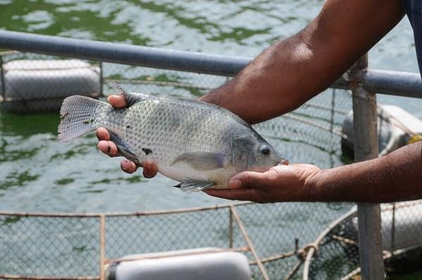 peixe-1