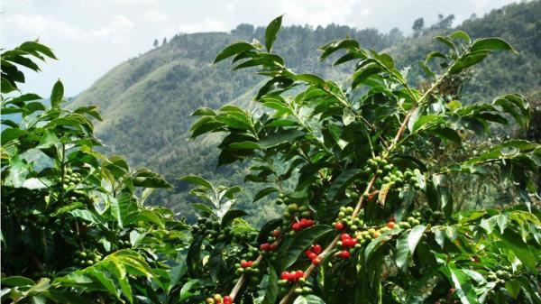 Café robusta, produzido por dezenas de milhares de pequenos produtores.