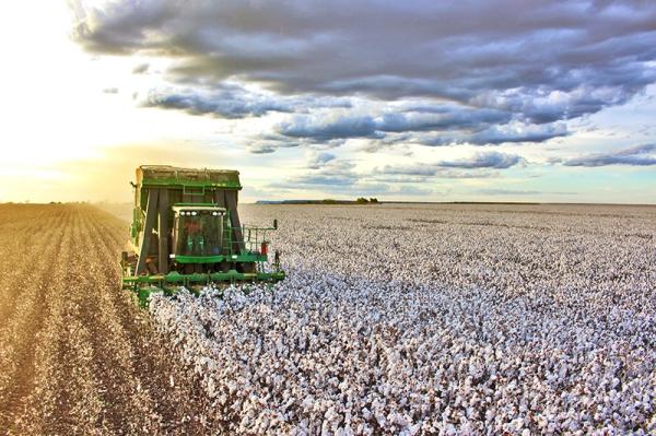 Resultado de imagem para colheita do algodão no oeste da bahia 2018